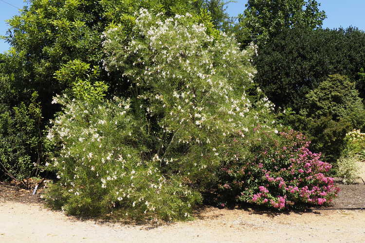 Chilopsis linearis 'Angel White' (desert willow)