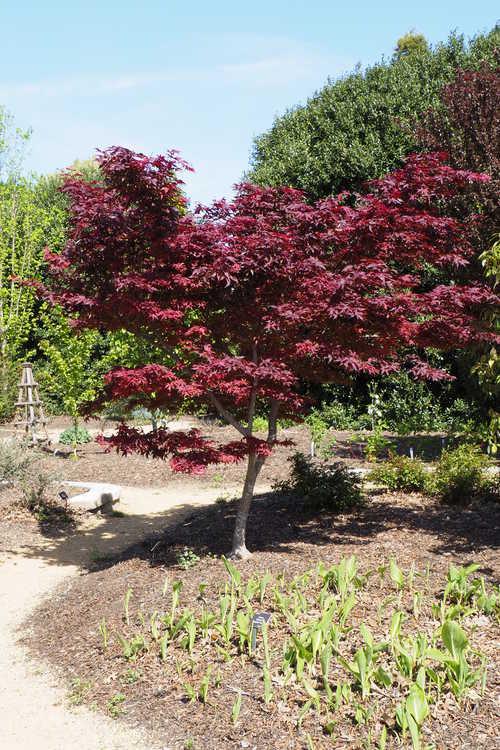 Acer palmatum 'Yubae' (variegated purple-leaf Japanese maple)