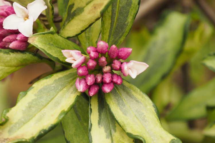 Daphne odora 'Nakafu' (variegated winter daphne)
