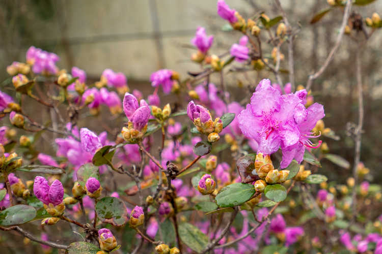 Rhododendron 'Chapmanii Wonder' (hybrid rhododendron)