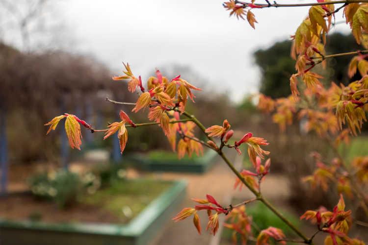 Acer palmatum 'Ueno Yama' (Japanese maple)