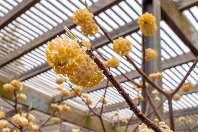 Edgeworthia 'Snow Globe' (hybrid Japanese paperbush)