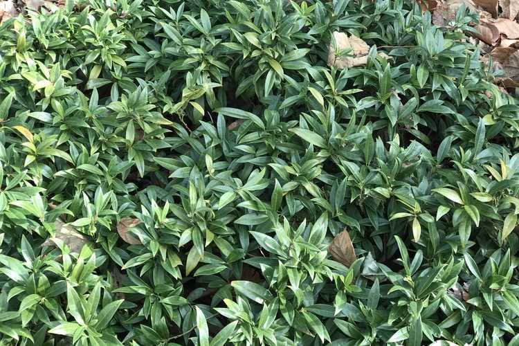 Sarcococca hookeriana (sweet box)