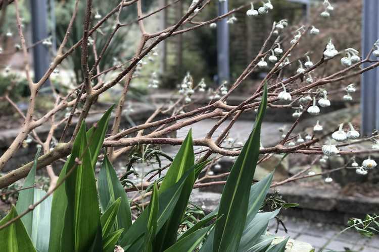 Aspidistra elatior 'Lennon's Song' (cast iron plant) and Edgeworthia 'Snow Globe' (hybrid Japanese paperbush)