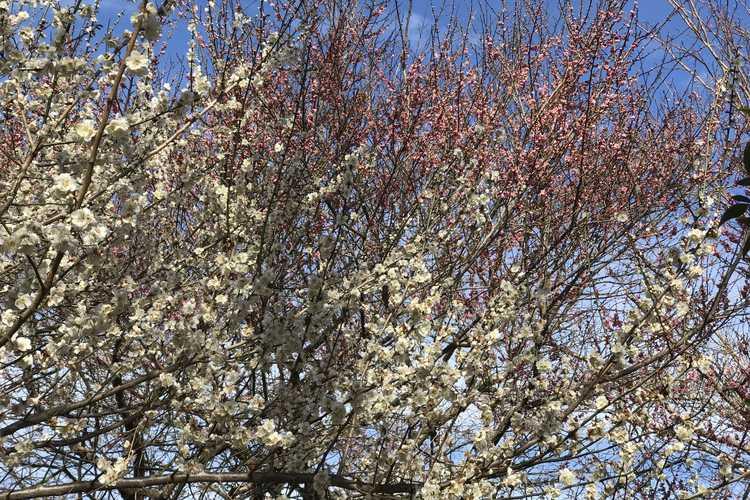 Prunus mume 'Bonita' (pink Japanese flowering apricot) and Prunus mume 'Tojibai' (white Japanese flowering apricot)
