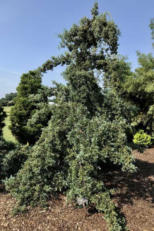 Chamaecyparis thyoides 'Tom's Blue' (Atlantic white-cedar)