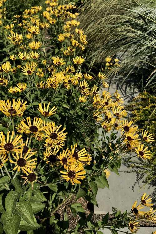 Rudbeckia subtomentosa 'Little Henry' (sweet coneflower)