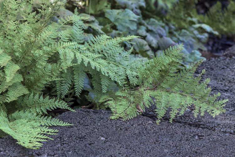 Paesia scaberula (Scented Lace Fern)