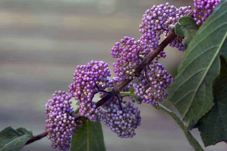Callicarpa (beautyberry) - beautyberry