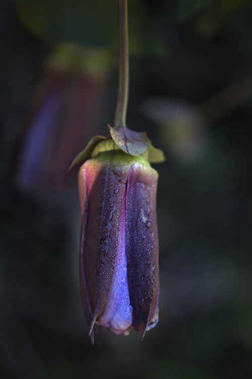 Passiflora 'Monika Fischer' (hybrid passion flower)