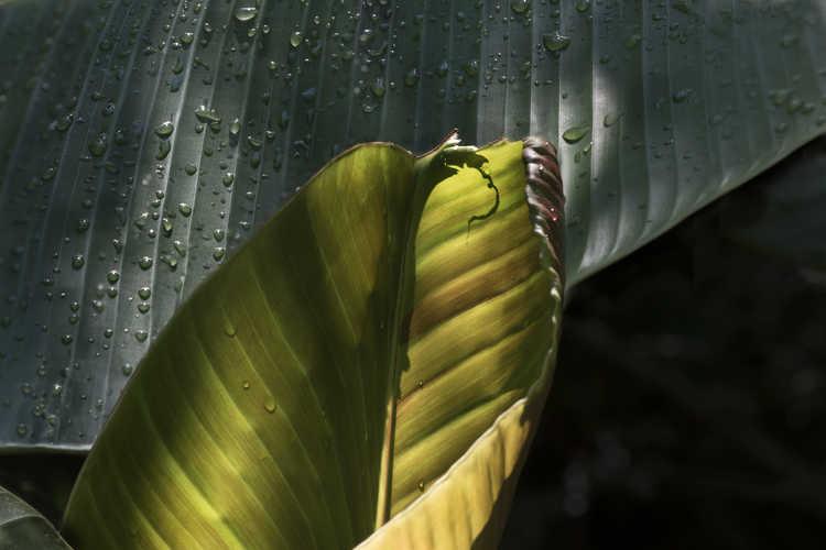Musa sikkimensis (Sikkim banana)