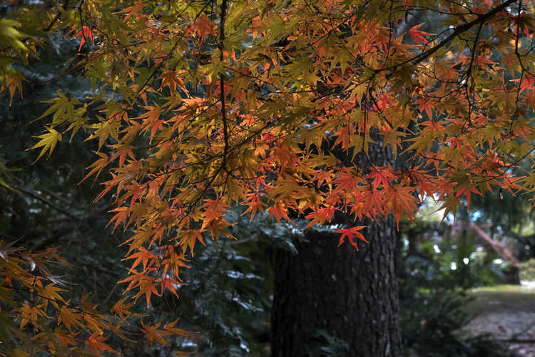 Acer palmatum 'Arakawa' (rough-bark Japanese maple)