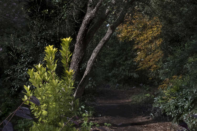 Illicium parviflorum 'Florida Sunshine' (golden yellow anise)
