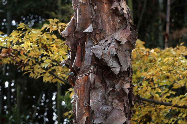 Betula nigra 'Heritage' (river birch)