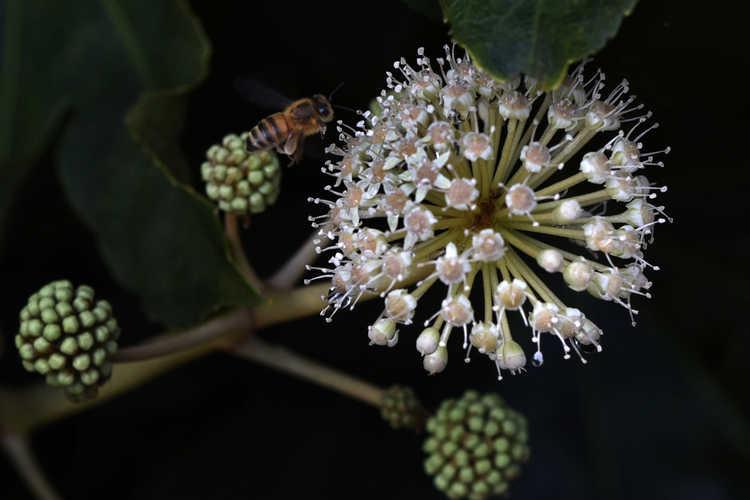 Fatsia japonica (Japanese fatsia)