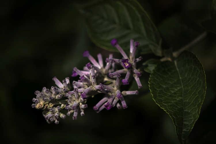 Buddleja 'Violet Eyes' (butterfly-bush)