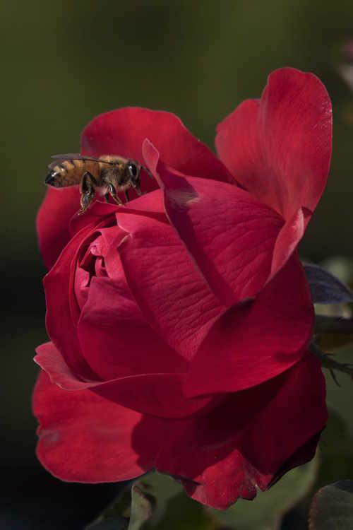 Rosa 'Baisuhe' (Easy Elegance Super Hero shrub rose)