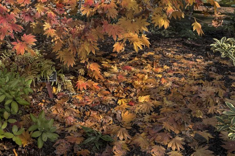 Acer japonicum (full moon maple)
