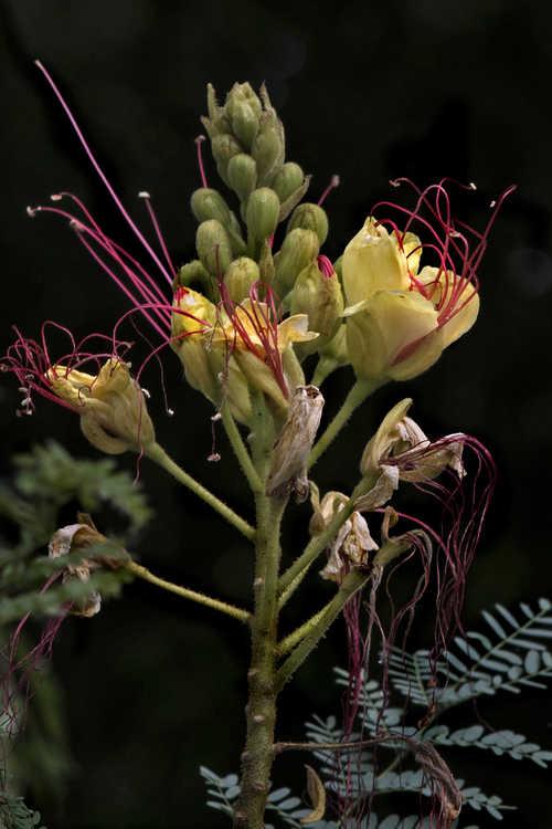 Caesalpinia gilliesii (desert bird-of-paradise)