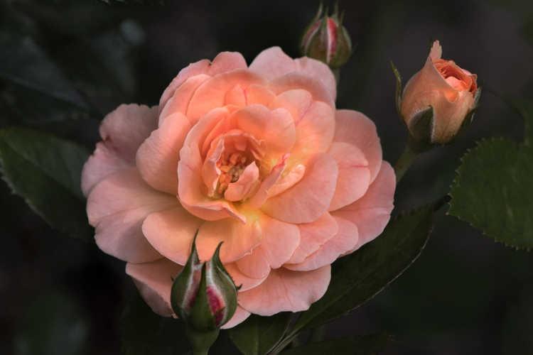 Rosa 'Meimirrot' (Apricot Drift ground cover rose)