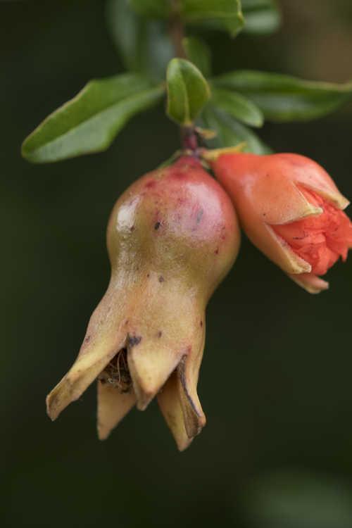 Punica granatum 'State Fair' (dwarf pomegranate)