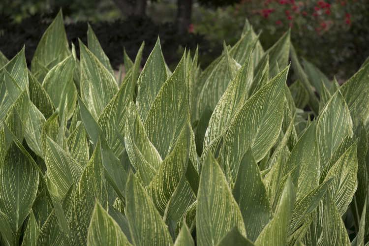 Canna 'Minerva' (variegated canna)