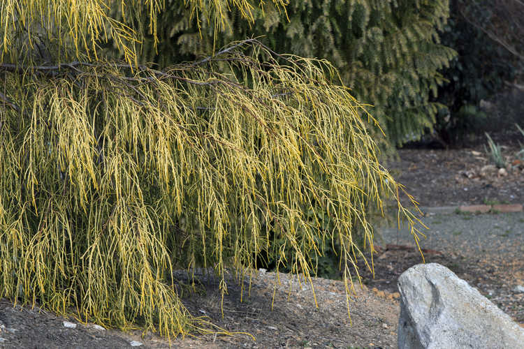 Cupressus macrocarpa 'Saligna Aurea' (gold thread-leaf Monterey cypress)