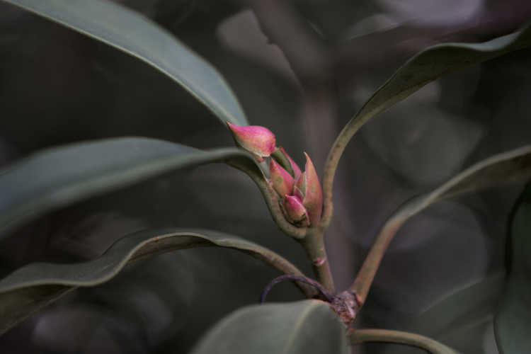 Illicium 'Woodland Ruby' (pink anise)