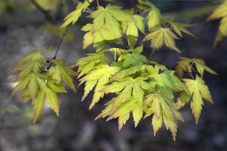 Acer palmatum 'Orange Dream' (golden Japanese maple)