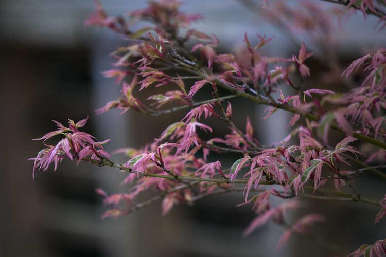 Acer palmatum 'Okukuji Nishiki' (variegated Japanese maple)
