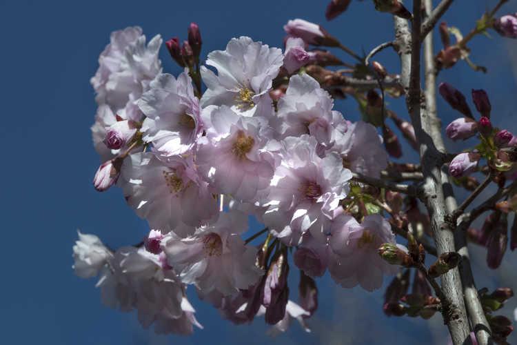Prunus 'JFS-KW 14' (First Blush flowering cherry)