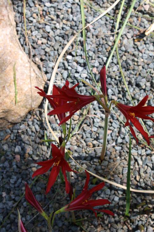Rhodophiala bifida (oxblood-lily)