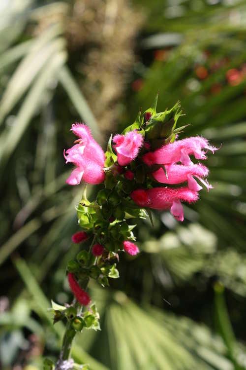 Salvia oxyphora (Bolivian sage)