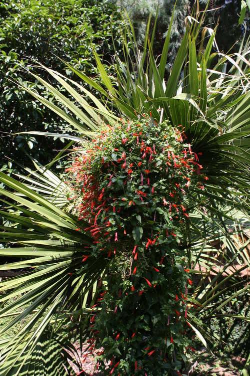Manettia cordifolia 'John Elsley' (firecracker vine)