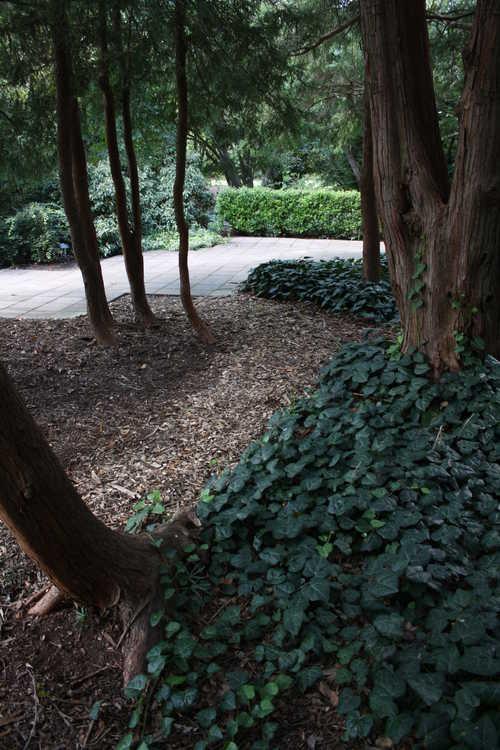 Chamaecyparis pisifera 'Filifera' (green-thread Sawara falsecypress) and Hedera colchica (Colchis ivy)