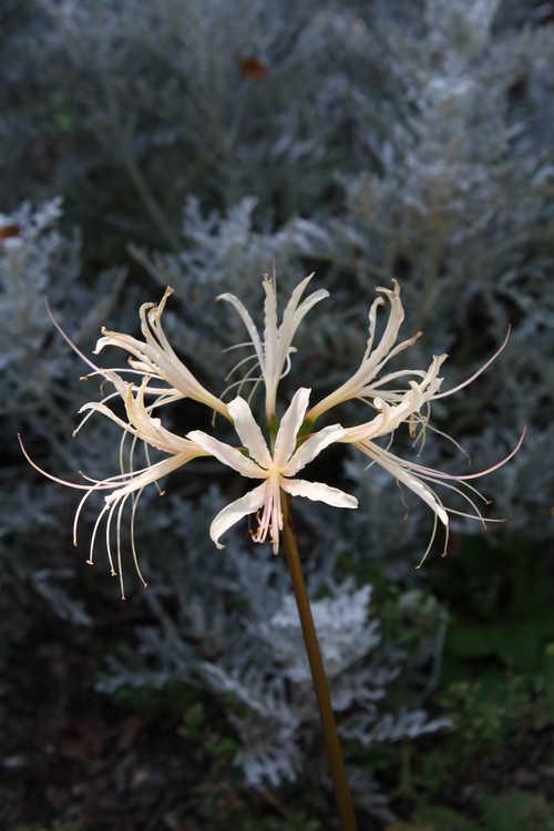 Lycoris albiflora (white surprise-lily)