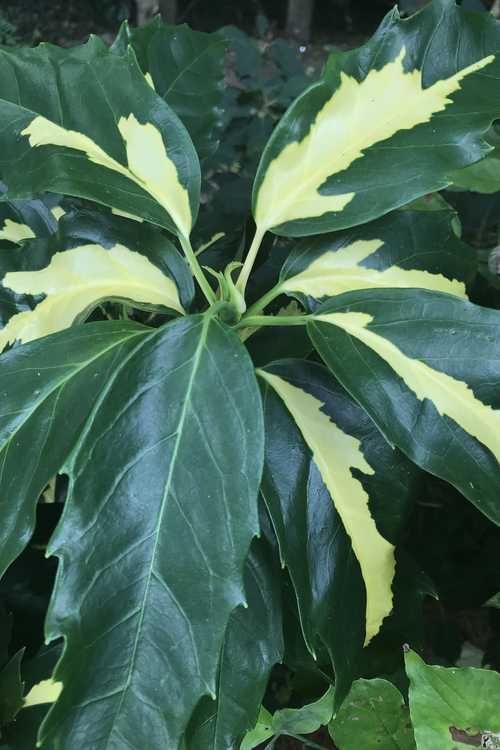 Aucuba japonica 'Meigetsu' (gold-stripe Japanese aucuba)