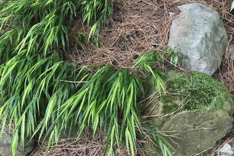 Hakonechloa macra 'All Gold' (Japanese forest grass)