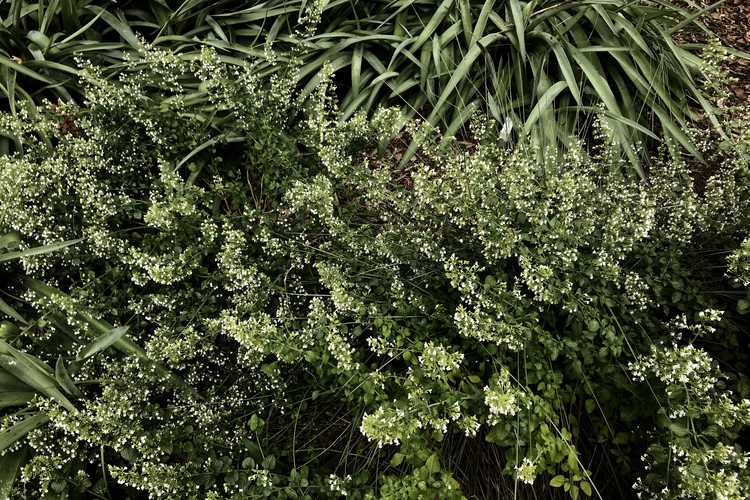 Clinopodium nepeta subsp. nepeta (lesser catmint)
