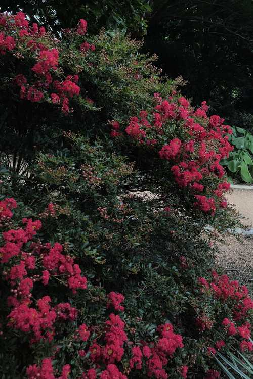 Lagerstroemia 'Gamad I' (Cherry Dazzle compact crepe myrtle)