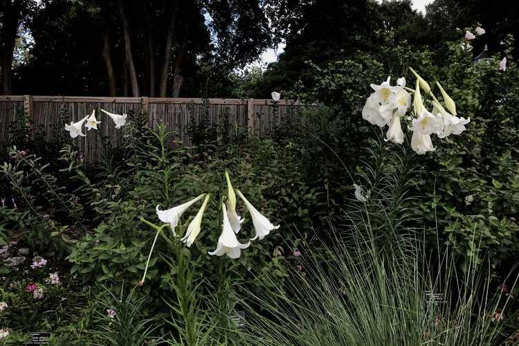 Lilium formosanum (Formosa lily)