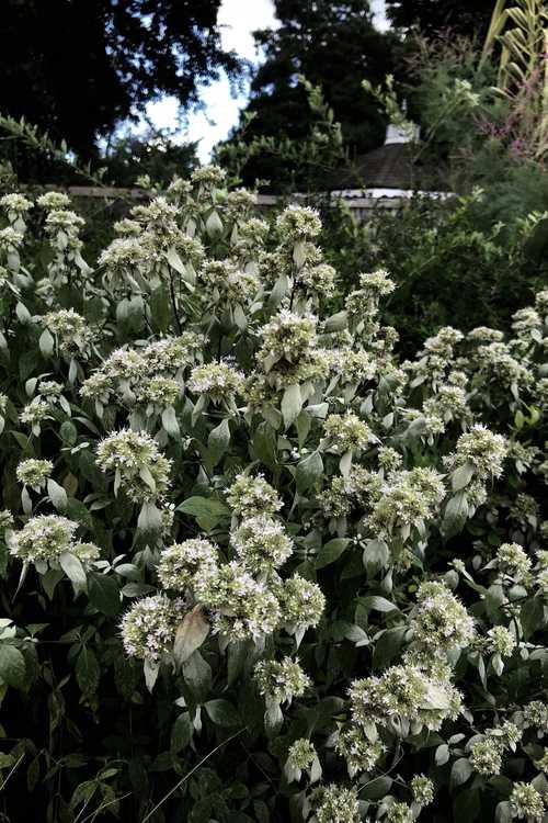 Pycnanthemum loomisii (Loomis' mountainmint)