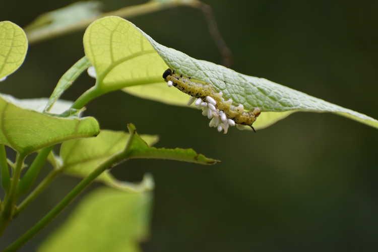 Catalpa - parasitized Catalpa hornworm