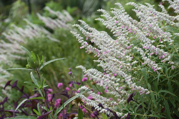 Salvia leucantha 'Ferpink' (Danielle's Dream Mexican bush sage)