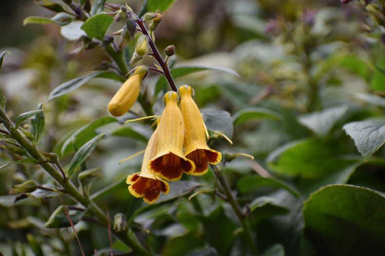 Titanotrichum oldhamii (gold false foxglove)