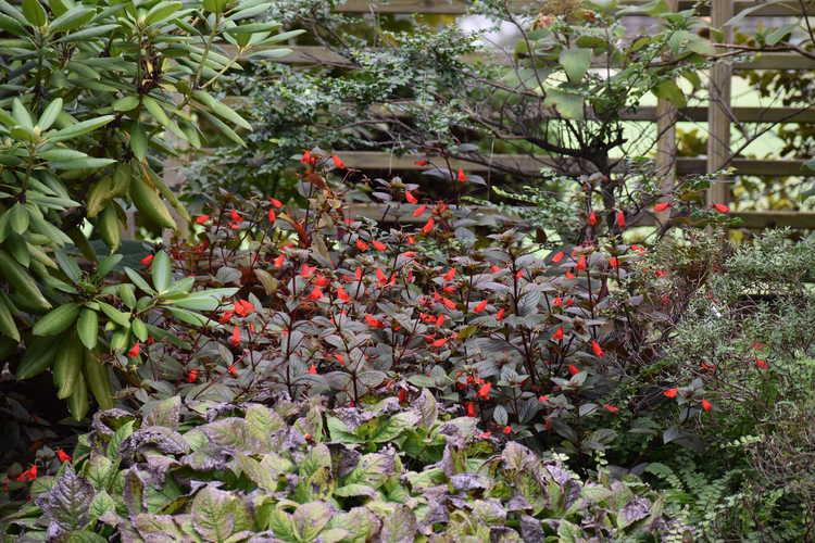 Seemannia 'Little Red' (hardy gloxinia)