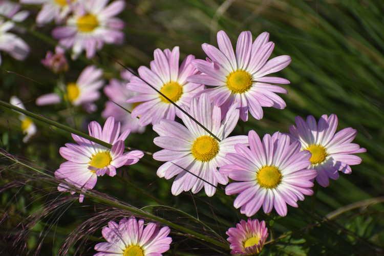Chrysanthemum 'Country Girl' (garden chrysanthemum)