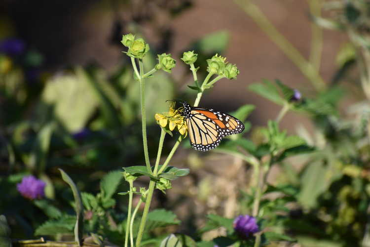 Silphium gracile (slender rosinweed) - monarch butterfly