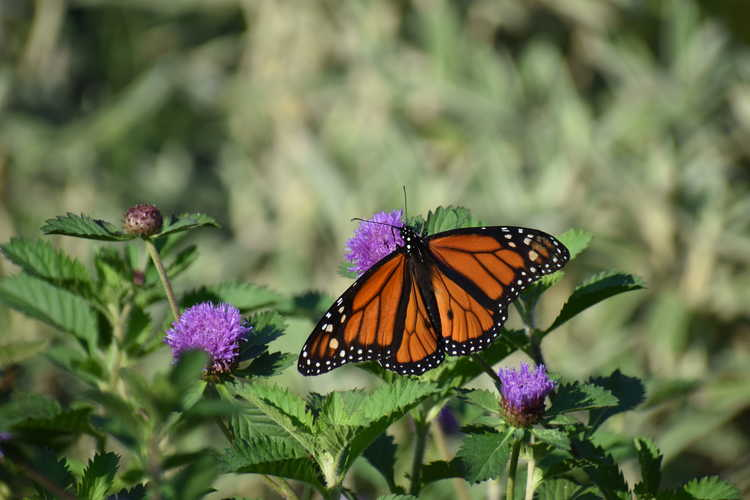 Centratherum - being enjoyed by a North American monarch butterfly