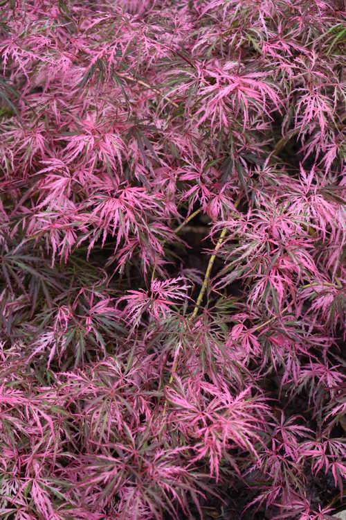 Acer palmatum 'Hana Matoi' (variegated dissectum Japanese maple)